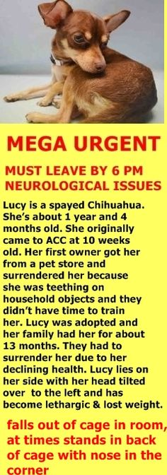 SUPER URGENT Manhattan Center LUCY – A1031960 **MUST LEAVE BY 6 PM NEUROLOGICAL ISSUES / RETURNED 05/24/16** I am a spayed female, chocolate and tan Chihuahua – Smooth Coated mix. The shelter staff think I am about 1 year and 4 months old. I weigh 6 pounds. I was found in NY 10463. I have been at the shelter since May 24, 2016. http://nycdogs.urgentpodr.org/2016/05/lucy-a1031960/