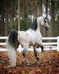 Gorgeous Grey Arabian ( looks like it could be Australia )