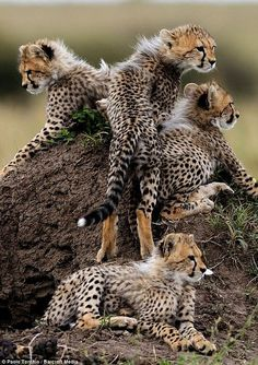 Baby Cheetahs. (KO) Holy crap! That's a lot of cheetah kittens! Surely they aren't all from one litter! Heaven help their poor Mama if they are. The Animals, Cute Baby Animals, Nature Animals, Nature Nature, Wild Nature, Funny Animals, Animal Gato, Vida Animal, Mundo Animal