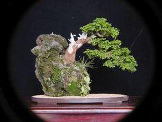 40 Gambar Juara Bon Terbaik Pohon Bonsai Bonsai Pohon