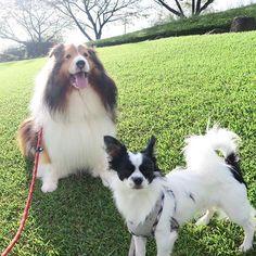光がいっぱい♪ Full light of the sun.✨ 🐾 #sheltie #ShetlandSheepdog #dog #dogs #doglove #doglover #doglovers #insta_dogs #officialdoglovers #pet #dogscorner #dogoftheday #puppy #dogofthedayjp #dogstagram #canon #excellent_dogs #dogsofinstaworld #パピー #シェルティ #シェットランドシープドッグ #チワワ #ロンチー #chihuahua #ふわもこ部 #ペロリスト #ペット #愛犬 #犬
