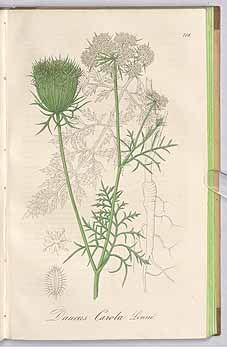 241739 Daucus carota L. / Dietrich, A.G., Flora regni borussici, vol. 10: t. 708 (1842) [A.G. Dietrich]