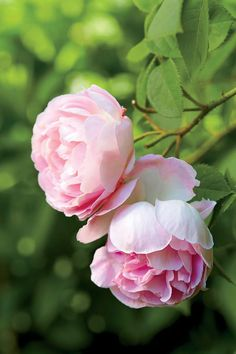 An Entertainer's Garden: David Austin English Roses