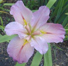 Louisiana Iris - 'Feliciana Hills' - Large image and description Art Flowers, Flower Art, Louisiana Iris, Iris Tattoo, Irises, Lily, Tattoos, Garden, Plants