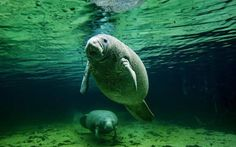 Don't Forget!  Florida Manatee Festival set for Jan. 17-18 in Crystal River, Florida