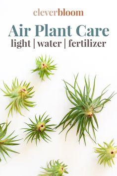 Learn how to care for Air Plants - Clever Bloom House Plants Decor, Plant Decor, Garden Plants, Indoor Plants, Air Plants Care, Air Plant Display, House Plant Care, Low Maintenance Plants, Planting Flowers