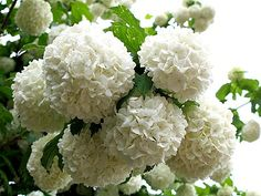 love these snowball viburnum