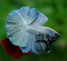 ... Siamese Fighting Fish, Beautiful Fish, Betta Fish, Green, Blue, Pisces, Animaux, Betta