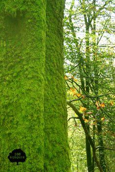 SEÑORÍO DE BÉRTIZ. Situado al noroeste de la provincia de Navarra. Es una de las mejores muestras de bosque mixto atlántico de Navarra en donde crecen hayas, tejos, acebos, abedules, robles común, marojos y albares, avellanos, arces, tilos, alisos, sauces, olmos y fresnos.