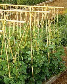 Cucumber Trellis Will Make Using New Bamboo Stakes 640 x 480