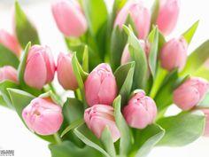 Tulips / Tulpen