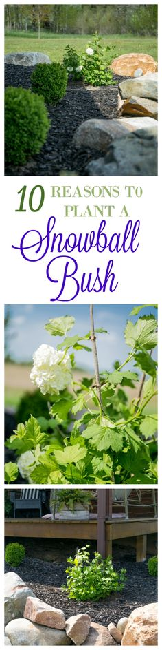 10 Reasons To Plant A Snowball Bush   Grow in full sun (which is what I have) They have large 3-4″ blooms that resemble snowballs in late spring and summer After the blooms fade the leaves turn yellow and orange giving another round of color for fall They only need to be trimmed every 2-3 years Very drought tolerant It's a heavy bloomer Extremely fragrant Can cut the flowers and put in a vase Easy to grow Cold hardy