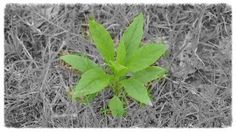 Have you seen this weed? Fireweed can be pesky, here is everything you need to know to take control of your fireweed.