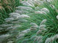 If you like a more flowing appearance, fountain grass comes in a variety of sizes and colors. The soft, bottlebrush-like seed heads enhance fall gardens and bouquets.