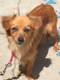 Meet Rusty, an adopted Spaniel & Dachshund Mix Dog, from Mutts in Need in Newport Beach, CA on Petfinder. Learn more about Rusty today. Mans Best Friend, Best Friends, Pet Finder, Dachshund Mix, Newport Beach, Animal Rescue, Pet Adoption, Cute Animals, Babies