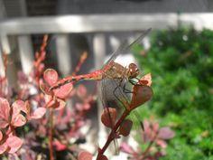 Red Dragonfly by HaleyGottardo