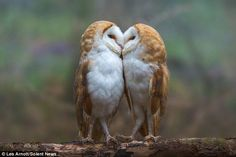 The affectionate barn owls were snapped sharing a kiss before snuggling in the fork of a tree