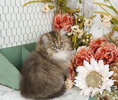 Fantasia - Click Here - Ultra Rare Persian Kittens For Sale - (660) 292-2222 - Located in Northern Missouri (Shipping Available)Ultra Rare Persian Kittens For Sale – (660) 292-2222 – Located in Northern Missouri (Shipping Available)