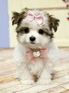 Cute Morkie puppy ready for party... click on picture to see more