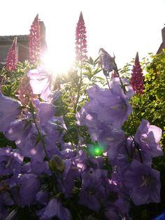 Campanula. Check voor meer foto's ivyandlily.nl