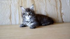 Kenny of Maine Coon castle 8 weeks old #katzenbaby #mainecoon #kitten #cat