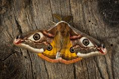 A simple guide to identifying British moths - Country Life Woodland Creatures, Woodland Animals, Butterfly Identification, Large Moth, Melanism, Elephant Trunk, Hawk Moth, British Wildlife, Red Squirrel