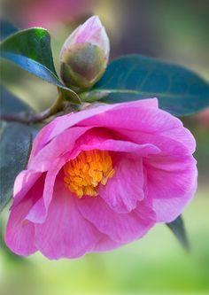 NIGEL BURKITT PHOTOGRAPHY: Pink Camellia