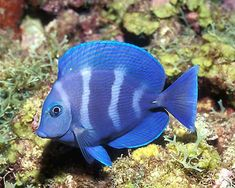 Most common aquarium fish,Not used as a food.