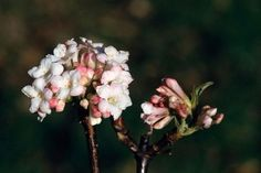 10 AGM plants with winter fragrance / RHS Gardening - Viburnum × bodnantense 'Deben'