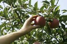 Tips For Harvesting Apples And Post Harvest Apple Storing -  Apples are certainly nutritious and are arguably one of America's favorite fruit. So how do you know when to pick apples and exactly how do you harvest apples and then store them properly? Read this article to learn more about apple harvesting.