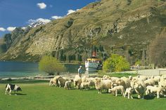 """""""Real Journey's"""" Farm Cruise ...14km up the lake on the 100yr old steamship, TSS Earnlsaw.  Watch dog mustering, sheep shearing, animals & have a cuppa with cream, rasberry jam scones..yummy!"""
