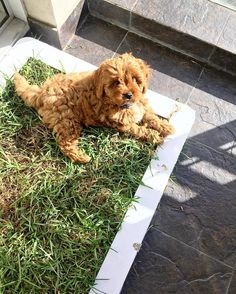 Little Aston taking a break from all this toilet training business #cavoodle #puppy #samoyed #doberman #pomeranian #englishbulldog #bulldog #sydney  #dog #dogsofinstagram #melbourne #australia #apartment #puppiesofinstagram #staffy #brisbane #ilovemydog  #cavalier #labradoodle #ecofriendly #gogreen #chowchow #toilettraining #germanshepherd by pottyplant.com.au