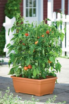 """These tomato """"success kits"""" from Gardeners.com are the absolute bomb! We have 4 on our desk and they work great -- tomatoes, peppers, cucumbers and zucchini have all flourished in them. HIGHLY recommend!"""