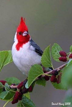 Red Crested Cardinal ~ 2/13/14 Hana, Maui