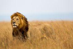 Over Stichting SPOTS De doelstelling van Stichting SPOTS is de bescherming van bedreigde, wilde katachtigen. Focusdieren zijn de cheeta (jachtluipaard), luipaard en leeuw. SPOTS werkt samen …