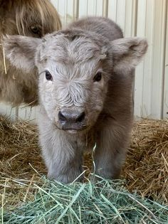 Fluffy Cows, Fluffy Animals, Animals With Fur, Pet Cows, Baby Cows, Miniature Cattle, Miniature Cows For Sale, Mini Cows For Sale, Cow Pictures