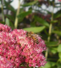 Honeybee on Sedum by cedarlili.deviantart.com on @deviantART
