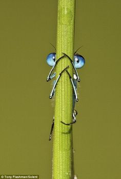 Peek-a-bug: This little Damselfly was caught hiding behind a blade of grass