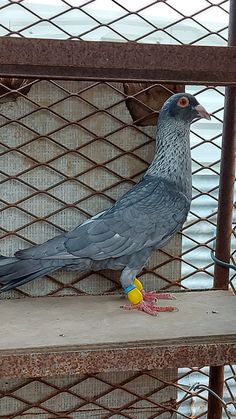 Pigeon Pictures, Pigeon Bird, Pakistan, Birds, In This Moment, Animals, Chicano Art, Love, Animales