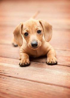Baby Doxie Dachshund Sausage Dog Puppies Dogs And Puppies Cute Dogs
