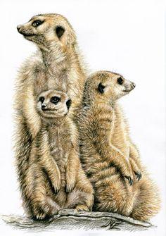 """Saatchi Online Artist: Nicole Zeug; Colored Pencils, Drawing """"The Meerkats"""""""