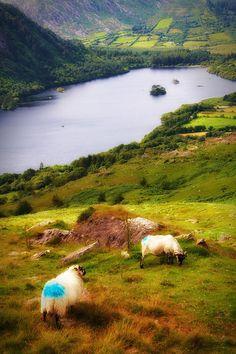 Sheep enjoying the view of Glanmore Lake on the Beara peninsula County Kerry, Ireland