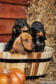 Autumn Dachshunds by olgakhazai.deviantart.com on @deviantART
