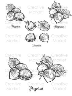 Isolated on white background. Engraved hand drawn Hazelnut illustration in retro vintage style. Plant Drawing, Food Drawing, Bujo, Glass Bottle Crafts, Hand Drawn, Tatting, Body Art, Tattoo Filler, How To Draw Hands