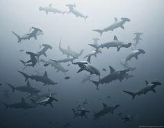 Hammer Sharks-Sea Lives..