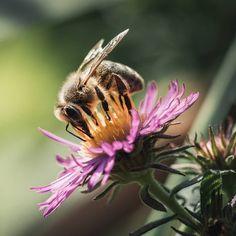 Muchas plantas exóticas y especies cultivadas no tienen ningún beneficio ecológico, no proporcionan a la fauna local ningún polen o néctar utilizable y además desplazan a las plantas autóctonas.La biomasa de insectos voladores se ha reducido un 75% en el último cuarto de siglo. Es una extinción en toda regla que hay que combatir como sea. Una de las maneras es recurrir a plantas que sirven a los insectos. Las mejores alternativas son las especies autóctonas, que se adaptan de manera óptima… Fauna, Insects, Bee, Animals, Dahlias, Geraniums, Wild Flowers, Shrubs, Pink Peonies