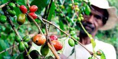 Feeding hungry coffee farmers