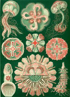 Ernst Haeckel ['Kunstformen der Natur', Litografías]
