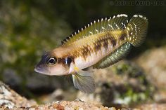 Live Freshwater Fish Cichlids - Find incredible deals on Live Freshwater Fish Cichlids and Live Freshwater Fish Cichlids accessories. Let us show you how to save money on Live Freshwater Fish Cichlids NOW! Cichlid Aquarium, Cichlid Fish, Tropical Freshwater Fish, Freshwater Aquarium Fish, Tropical Aquarium, Tropical Fish, Aquascaping, Lake Tanganyika, Cool Fish