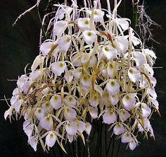 Orquídea Brassavola perrinii - Adulta - Jardim Exótico - O maior portal de mudas do Brasil.